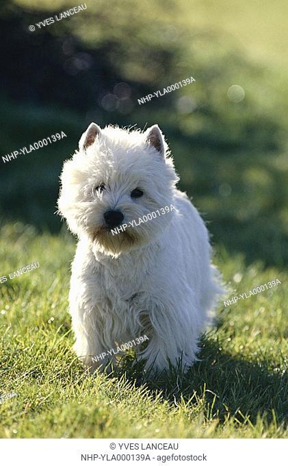 WEST HIGHLAND WHITE TERRIER standing on grass
