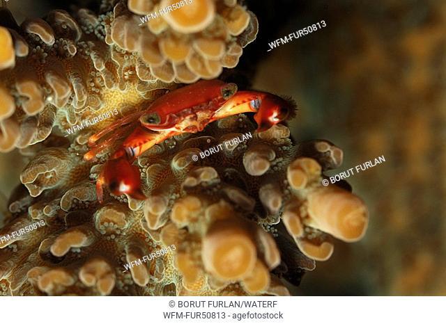 Coral Crab, Trapezia spec., Alor, Lesser Sunda Islands, Indo-Pacific, Indonesia