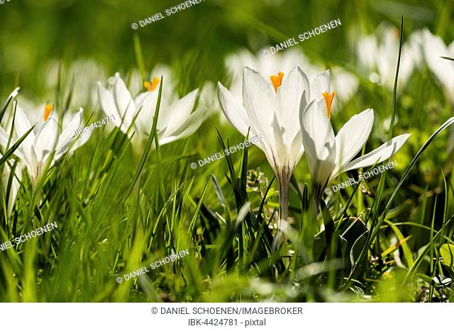 White crocuses (Crocus sp.), spring meadow, Baden-Württemberg, Germany