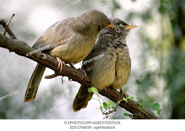 Jungle Babbler, Turdoides striatus, Keoladeo National park, Rajasthan, India