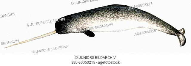 Narwhal (Monodon monoceros), male, drawing