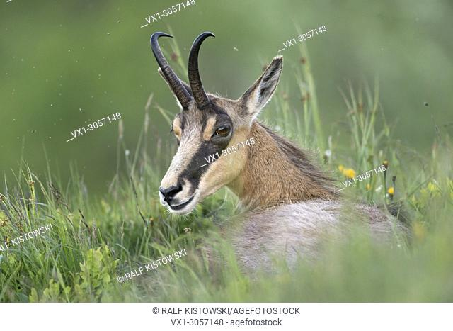 Alpine Chamois ( Rupicapra rupicapra ), female, resting on a mountain meadow, lying in grass, watching back, wildlife, Europe