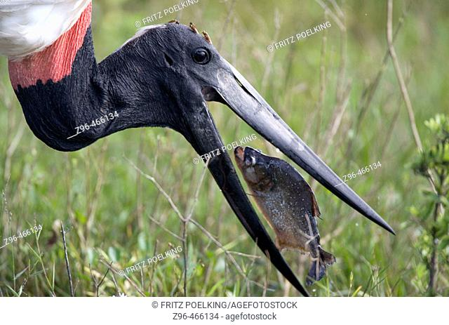 Jabiru stork (Jabiru mycteria) and Piranha. Pantanal, the world largest wetland, Brazil, South America