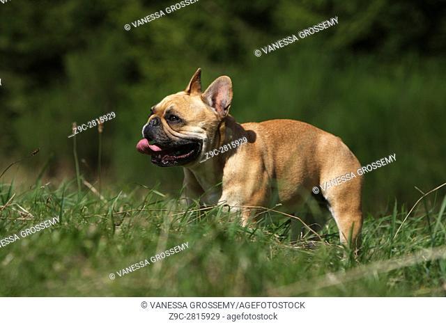 Dog French Bulldog adult running