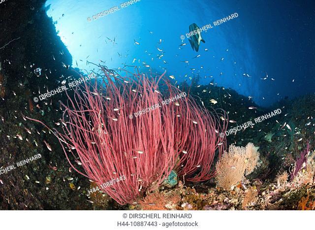 Longfin Batfish over Whip Corals, Platax teira, Ellisella sp., Raja Ampat, West Papua, Indonesia