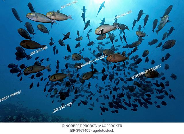 Shoal of Elongate Surgeonfish (Acanthurus mata), Indian Ocean, Embudu, South Malé Atoll, Maldives