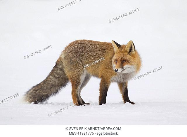Red Fox adult fox in snow Italy