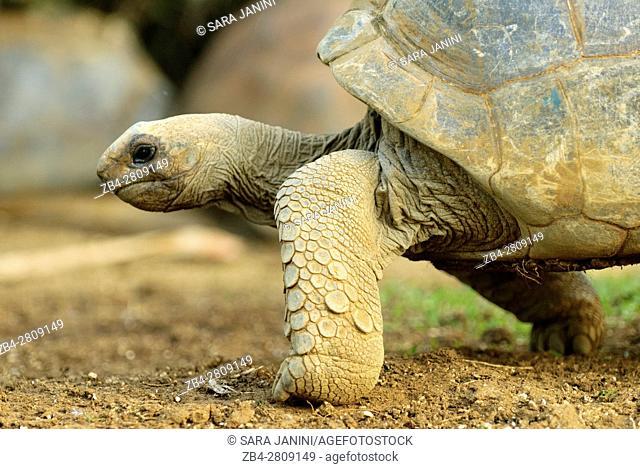 Giant Tortoise at La Vanille Nature Park, Rivière Des Anguilles, Mauritius, Indian Ocean, Africa