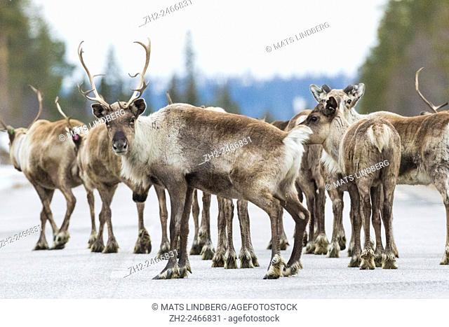 Herd of Reindeer standing on a road and one of them is looking in to camera, Gällivare, Swedish Lapland, Sweden