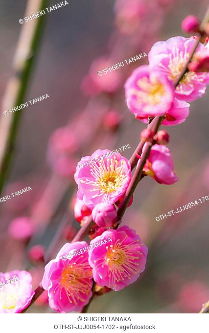 Blossom of Ume(Japanese apricot or plum), Early spring, Japan