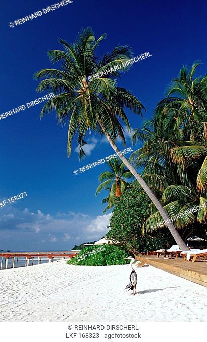Grey Heron at Beach, Ardea cinerea, Maldives, Indian Ocean, Medhufushi, Meemu Atoll