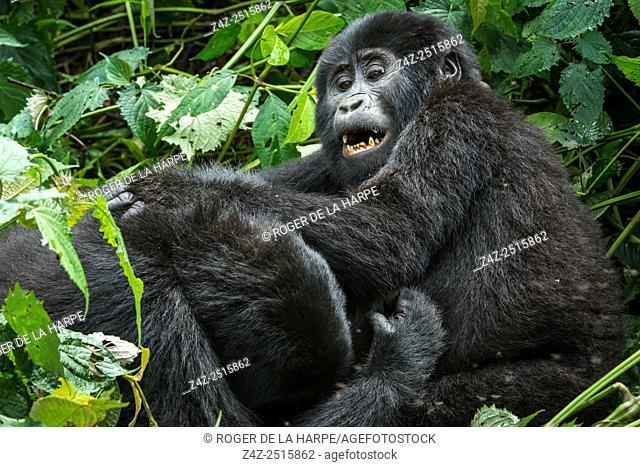Mountain gorilla (Gorilla beringei beringei) juveniles playing. Bwindi Impenetrable Forest. Uganda