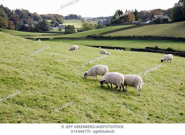 UK, England, Cumbria, The Lake District, Sawrey. Grazing sheep, pasture