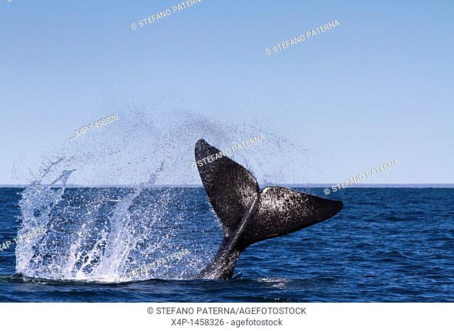 Southern right whale cavorting  Valdes Peninsula nature reserve on the Atlantic coast in the Viedma Department in the north east of Chubut Province, Argentina