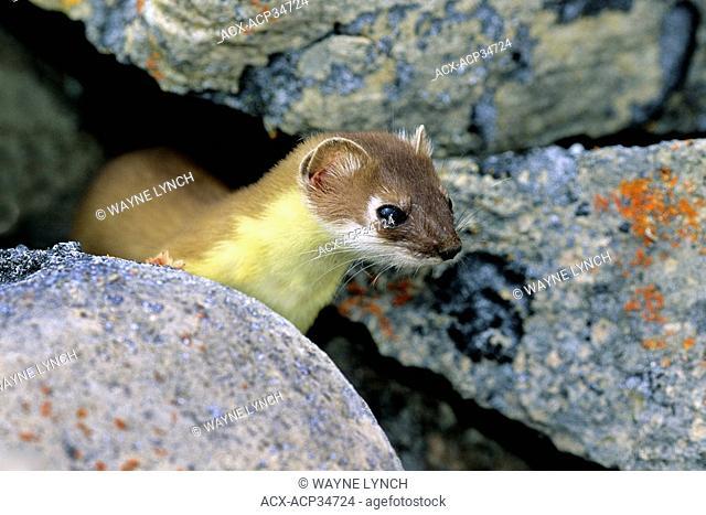 Short-tailed weasel Mustela erminea Victoria Island, Nunavut, Arctic Canada
