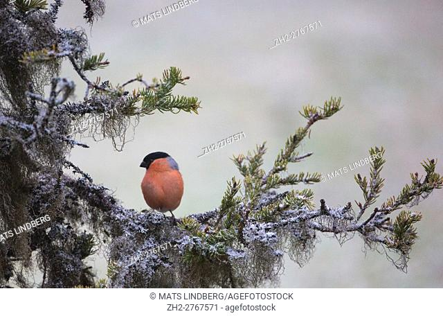 Eurasian bullfinch, Pyrrhula pyrrhula, sitting in a spruce tree with frost and lichen, Gällivare, Swedish Lapland, Sweden
