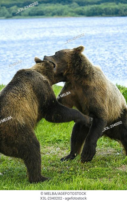 Browns Bear (Ursus arctos) fighting in Kurile Lake, Kamchatka Peninsula, Russia