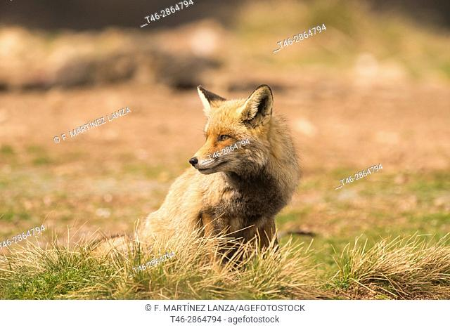 Common fox or red fox (Vulpes vulpes), Photographed in the Espinar Segovia
