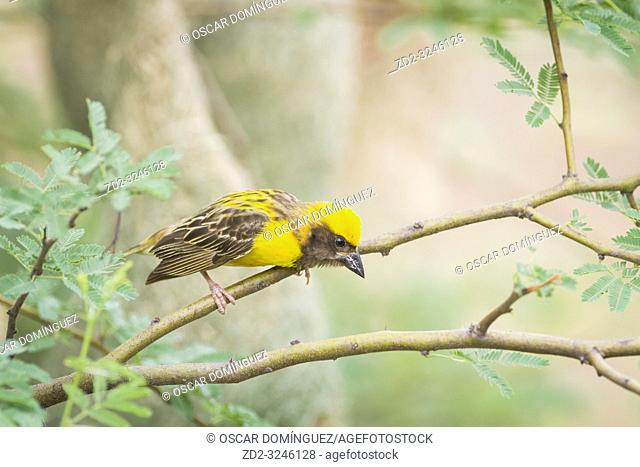 Baya Weaver (Ploceus philippinus), male perched on branch. Rajasthan. India