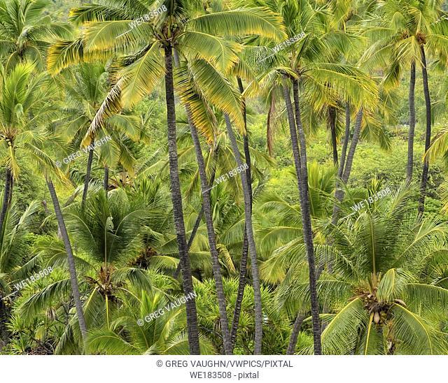 Coconut Palm trees, Pu'uhonua O Honaunau National Historical Park, South Kona, Big Island of Hawaii