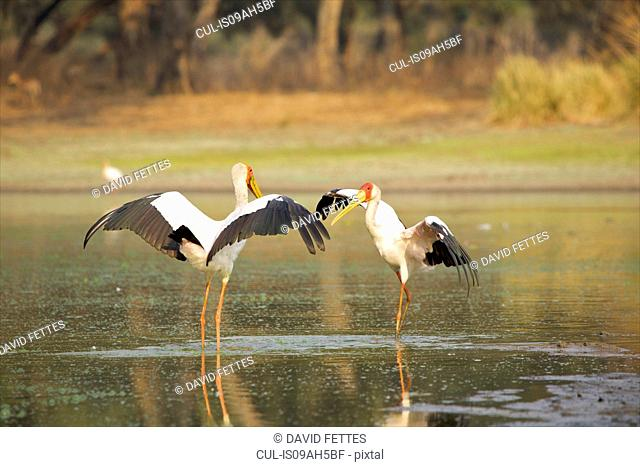 Yellow-billed storks - Mycteria ibis - having a territorial dispute at a waterhole at dawn