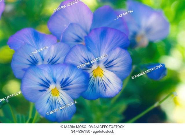 Blue Pansy Flowers. Viola x wittrockiana, Maryland, USA
