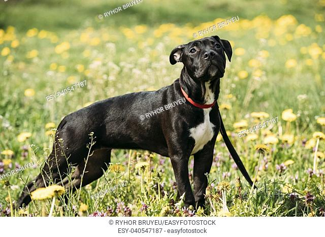Young American Staffordshire Terrier Puppy Dog Standing Outdoor In Green Spring Meadow With Yellow Flowers. Playful Pet Outdoors