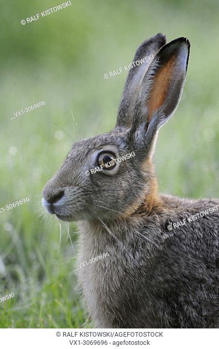 Brown Hare / European Hare (Lepus europaeus), sitting in grass, close up, headshot, portrait, wildlife, Germany, Europe