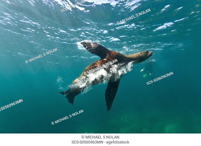 California sea lion Zalophus californianus underwater at Los Islotes the islets just outside of La Paz, Baja California Sur in the Gulf of California Sea of...