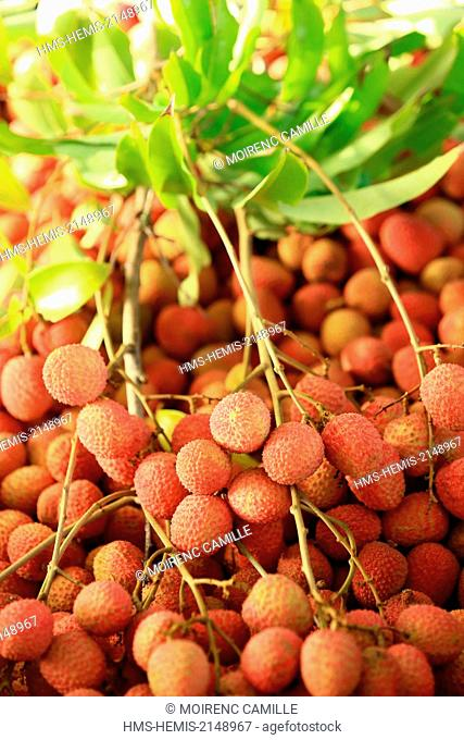 France, New Caledonia, Grande-Terre, Southern Province, Bourail, harvesting Litchi