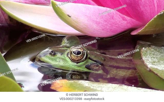 Kopf eines Wasserfrosches unter einer Seerosenbl