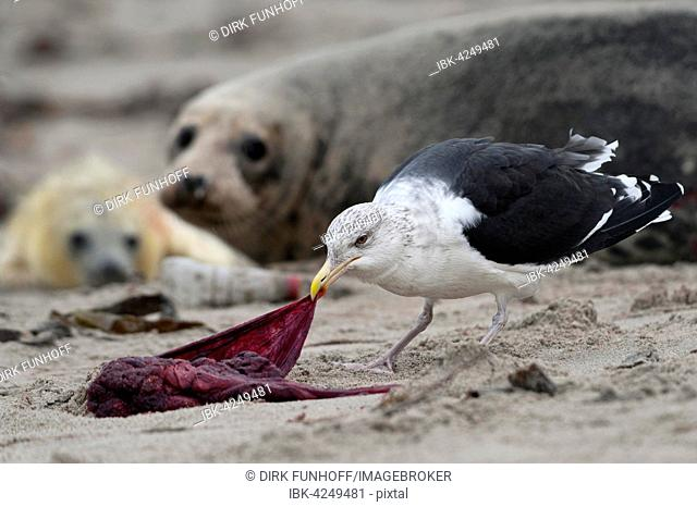 Great black-backed gull (Larus marinus) eating placenta, grey seal (Halichoerus grypus) with pup behind, Schleswig-Holstein, Germany