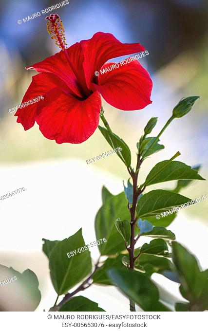Close view of a beautiful red hibiscus flower in the garden