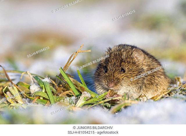 Common Vole (Microtus arvalis) in winter. Germany