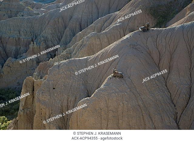 Rocky Mountain Bighorn Sheep Rams resting on rock formations, (Ovus canadensis), introduced in 1964, Badlands National Park, SD, USA