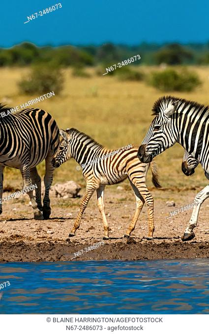 A herd of zebra at a watering hole, Nxai Pan National Park, Botswana