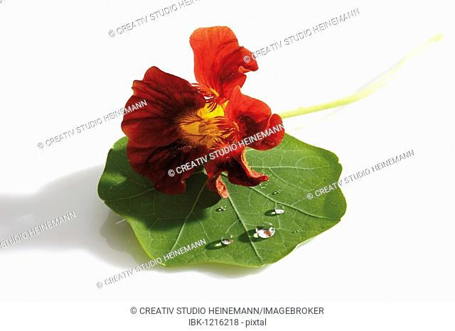 Indian Cress (Tropaelum majus)