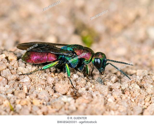 Gold wasp (Hedychrum rutilans), female, Germany