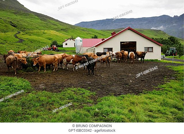 HERD OF ICELANDIC COWS ON A FARM IN THE SOUTHWEST OF ICELAND, EUROPE