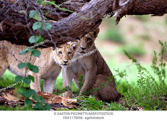 African Lions Panthera leo - Cubs, in the bush, Kgalagadi Transfrontier park, Kalahari desert, South Africa