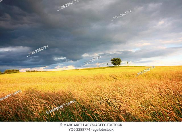Beautiful summer fields in golden sunlight with a lonely tree
