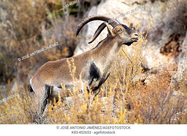 Spanish Ibex (Capra pyrenaica)