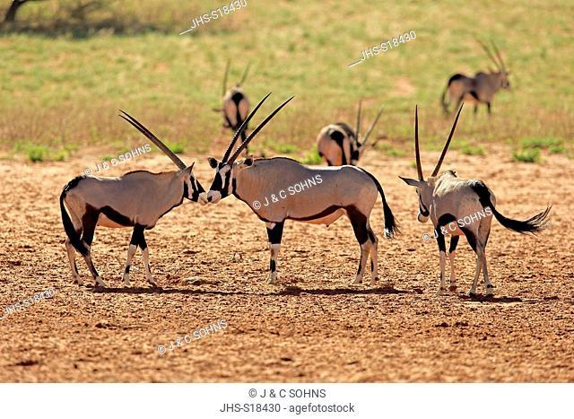 Gemsbok, Gemsbuck, Oryx, (Oryx gazella), group of adults, Tswalu Game Reserve, Kalahari, Northern Cape, South Africa, Africa