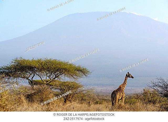 Masai giraffe, Maasai giraffe, or Kilimanjaro giraffe (Giraffa camelopardalis tippelskirchi) with Mount (Mt) Kilimanjaro in the background from Satao Elerai...