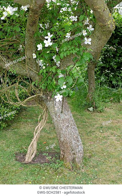 CLEMATIS MONTANA ALBA CLIMBING AROUND THE TRUNK AND BRANCHES OF AN APPLE TREE
