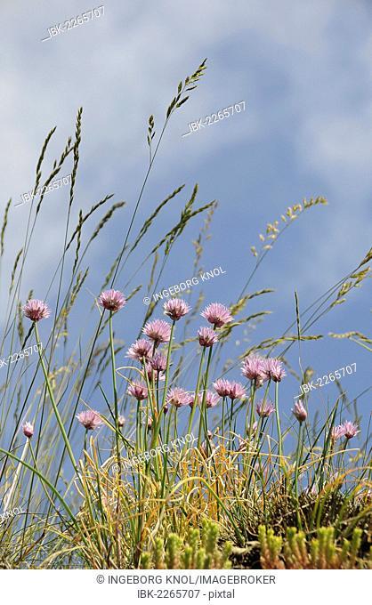 Marsh daisies (Armeria maritima), Italian ryegrass (Lolium multiflorum)