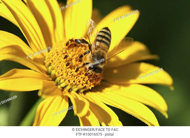 A honeybee is seen on the anther of a yellow flower