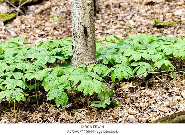 Mayapple (Podophyllum peltatum) plants, Presqu'ile Provincial Park, Ontario, Canada