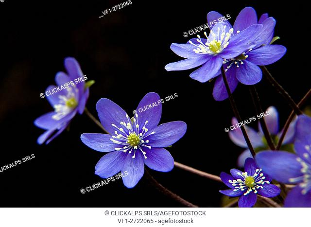 Hepatica, liverleaf, liverwort, is a genus of herbaceous perennials in the buttercup family, native to central and northern Europe