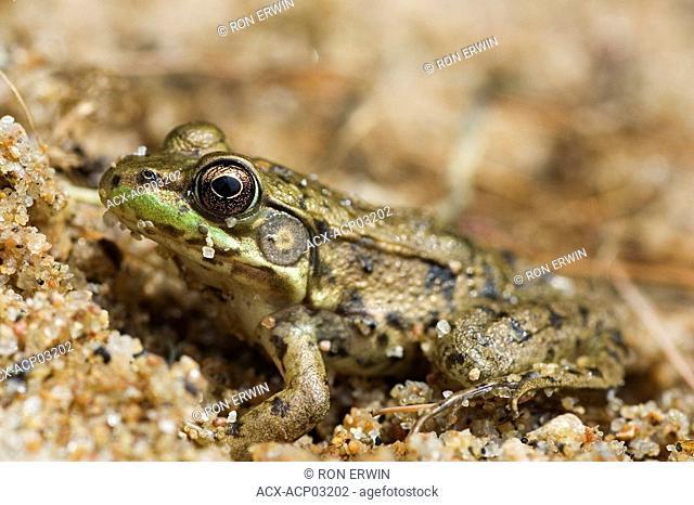 Mink Frog Rana septentrionalis, Skootamata Lake, Ontario, Canada